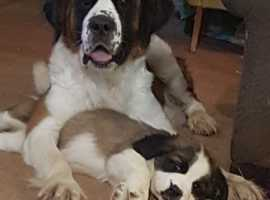 Stunning Saint Bernards For Sale **Ready Now**