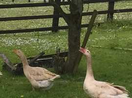 Pair of Buff Geese
