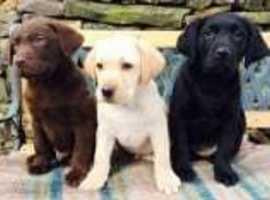 Stunning Labrador Pups