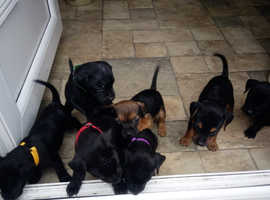 Patterdale Terrier Pups