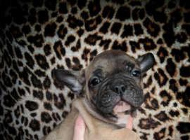 3 quarter french bulldog puppies