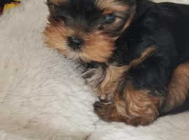 Beautiful KC Yorkshire Terrier Puppies