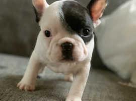 Pied french bulldog girl