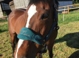 16.1hh bay gelding companion home only