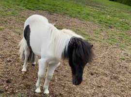 Shetland colt