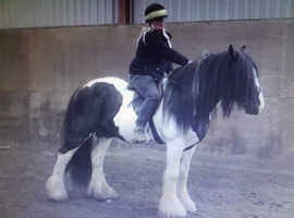 Very heavy coloured stallion for sale or swop