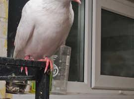Pair of white doves