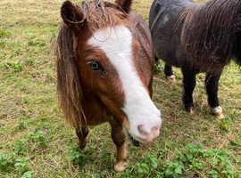 Miniature Shetland gelding. Amazing companion/ kids pony