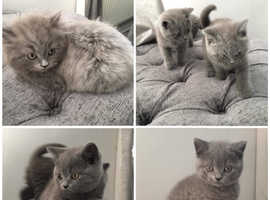 British blue kittens for sale