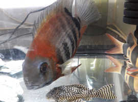 Red shoulder Severum.