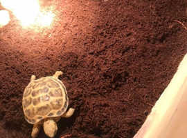 Herman tortoise and home