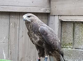 Pair of common buzzards for sale
