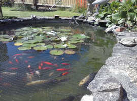 Pond Goldfish for Sale from  £6