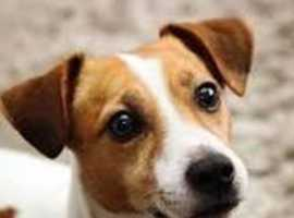 Jack Russell female wanted 100 pound