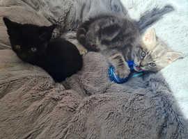2 back male kittens