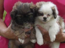 Shih Tzu female pupy