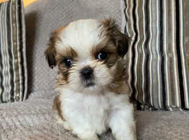 Last boy and girl available! Imperial shih tzus