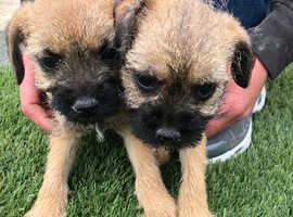 2 beautiful border terrier puppies