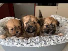Pure Lhasa apso puppies