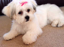 Gorgeous Shichon Puppies. Teddy Bear Dogs.    Shih Tzu x Bichon Frise.   Scotland.