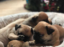 Gorgeous (and rare) F2 Puggle Puppies