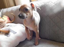 Italian Greyhound Puppy for Sale