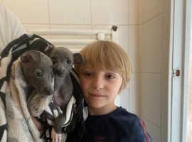 Kc Italian greyhound pups for sale