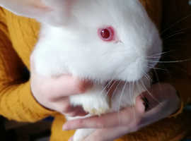 New Zealand/Lop White Bunnies 2 Bucks/1 Doe Get your Easter Bunny