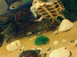 Rehoming 2 Chinese Striped neck turtles