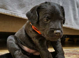 Patterdale Terrier puppies (pure bred)