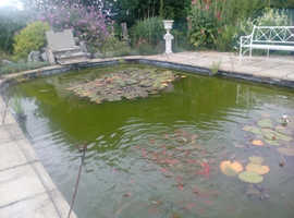 GOLD FISH OVER STOCKED POND