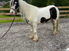 Super cob mare looking for a best friend