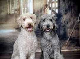 WANTED: Mini Poodle or Bedlington, any age