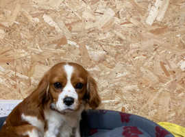 Gorgeous Cavalier King Charles