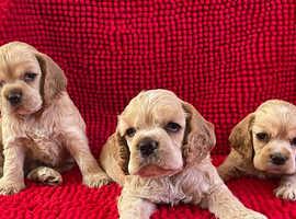 English and Irish Champion Sired American Cocker Spaniel Puppies
