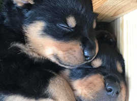 Gorgeous litter of chunky Rottweilers for sale