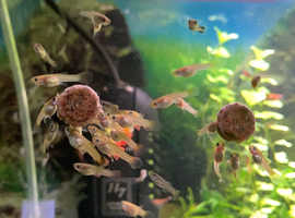 Guppy fry for sale