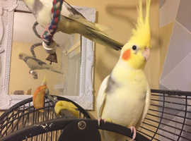 Two six month old cockatiel,s