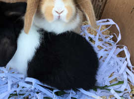 GORGEOUS baby mini lops for sale