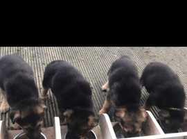 Shollie pups