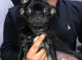 2 pug male puppy's for sale