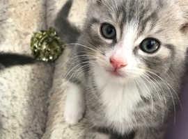 Beautiful British shorthair kittens *prices in description*