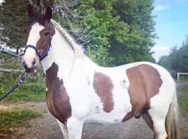 Irish cob X for loan