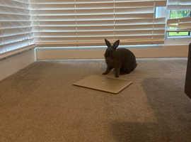 Argente bunny