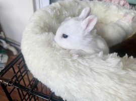4 white Netherland dwarf babies