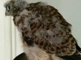 eurasian kestrels for sale