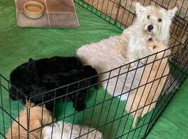 Westie Poodles x5
