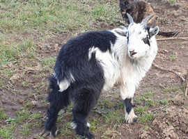 Entire pygmy billy goat kid