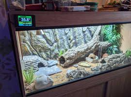 Full 4/2/2 Inc 3 female 6-7 month old geckos