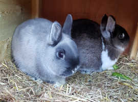 2 Netherlands dwarfs rabbits & hutch for sale